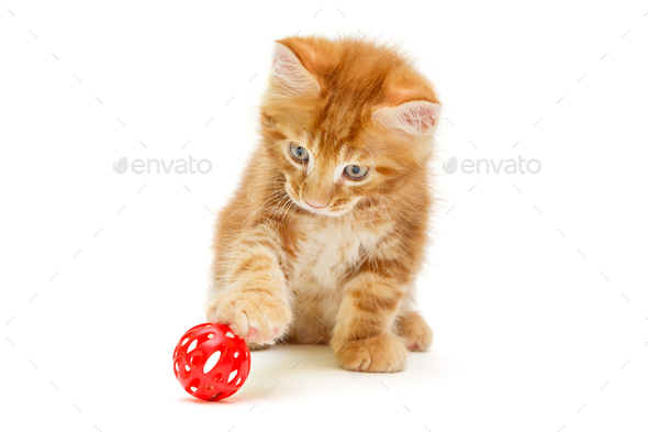 Small Maine Coon kitten plays with a red ball - Stock Photo - Images
