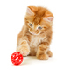 Small Maine Coon kitten plays with a red ball - PhotoDune Item for Sale