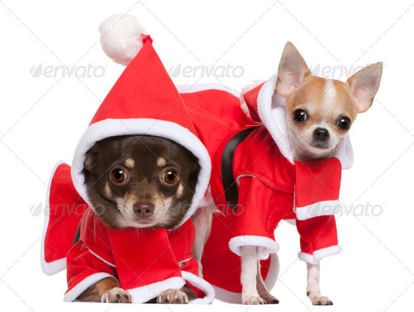 Chihuahua (2 years old), Chihuahua (8 months old) - Stock Photo - Images