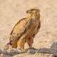 Tawny Eagle in the Kalahari - PhotoDune Item for Sale