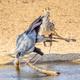 Secretary Bird Drinking - PhotoDune Item for Sale