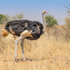 Male Ostrich in the Kalahari - PhotoDune Item for Sale