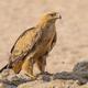 A Tawny Eagle in the Kalahari - PhotoDune Item for Sale