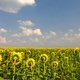 Summer yellow sunflowers in field with blue sky with clouds above - PhotoDune Item for Sale