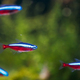 Cardinal Tetra Fish Swimming In Water - PhotoDune Item for Sale
