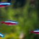 Cardinal Tetra Fish Swimming In Water - PhotoDune Item for Sale