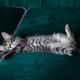 kitten is very beautiful.  gray kitten - PhotoDune Item for Sale