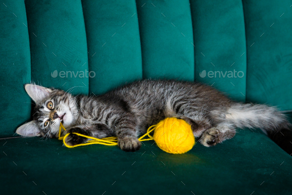 kitten plays with a ball of thread - Stock Photo - Images