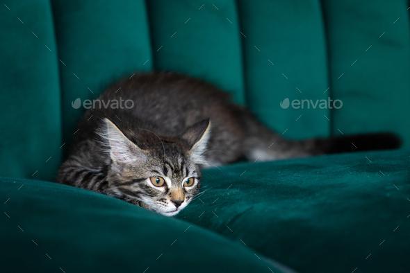 kitten is very beautiful.  gray kitten - Stock Photo - Images