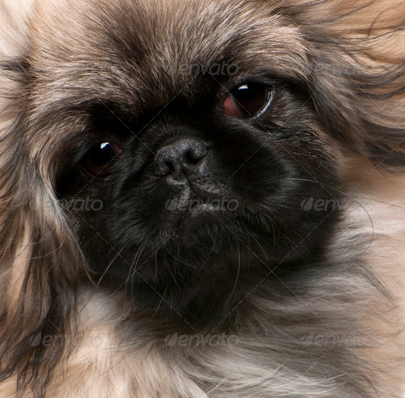 Pekingese puppy (6 months old) - Stock Photo - Images