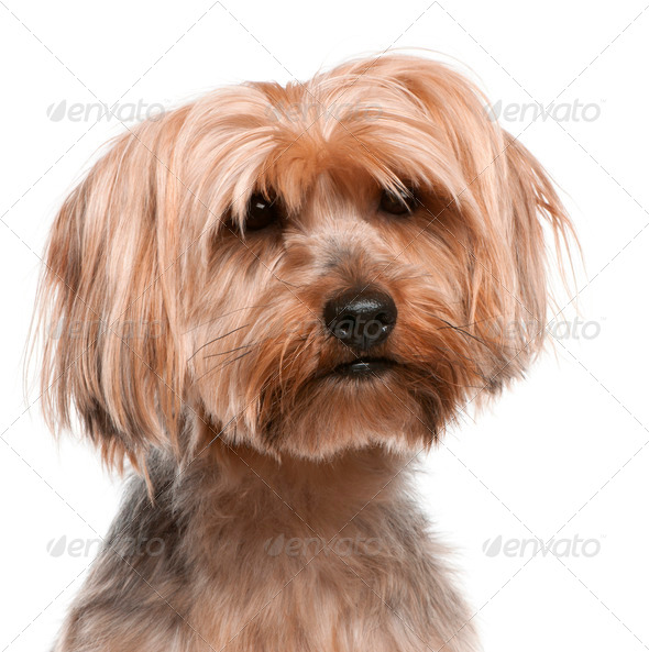 Yorkshire Terrier (5 years old), Yorkshire Terrier (2 years old) - Stock Photo - Images