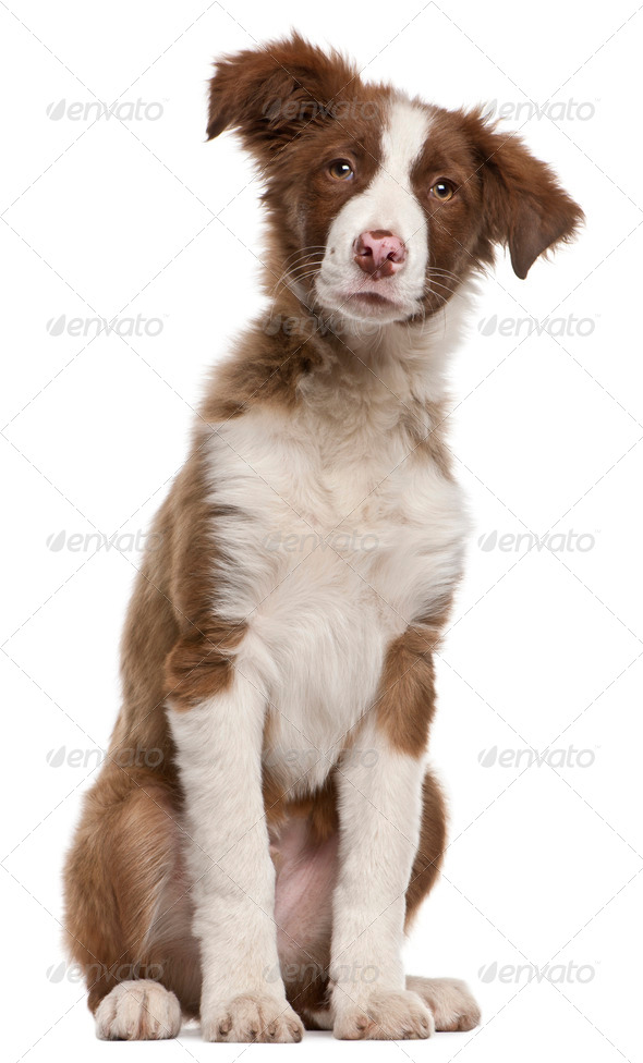 Border Collie puppy (5 months old) - Stock Photo - Images