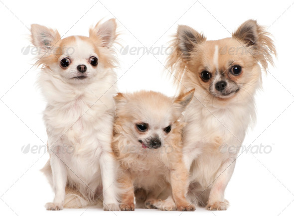 Chihuahua (5 years old), Chihuahua (14 years old), Chihuahua (1 year old) - Stock Photo - Images