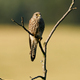 Common kestrel (Falco tinnunculus) - PhotoDune Item for Sale