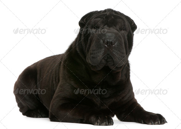 (3,5 years old), Shar Pei (1 year old) - Stock Photo - Images