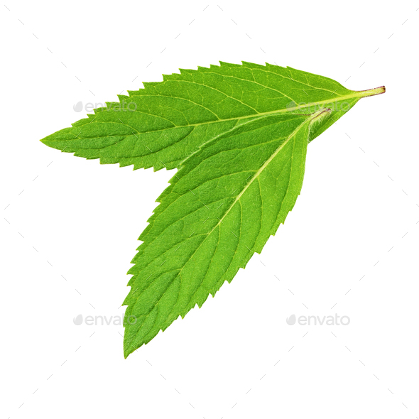 Two fresh green mint leaves isolated on white background. - Stock Photo - Images