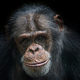 Chimpanzee (Pan troglodytes) on a black background - PhotoDune Item for Sale