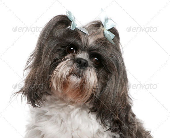 Shih Tzu (4 years old), Shih Tzu (4 years old) - Stock Photo - Images