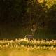 European roe deer - PhotoDune Item for Sale