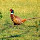 Pheasant - PhotoDune Item for Sale