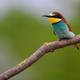 European Bee-Eater - PhotoDune Item for Sale