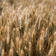 Fields of wheat at the end of summer fully ripe - PhotoDune Item for Sale