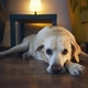Old dog resting at cozy home - PhotoDune Item for Sale