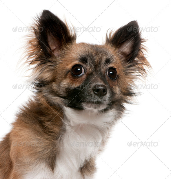 Chihuahua (1 year old) - Stock Photo - Images