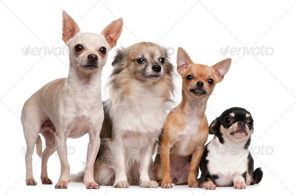 Chihuahua (2 years old), Chihuahua puppy (6 months old), Chihuahua (4 years old) - Stock Photo - Images