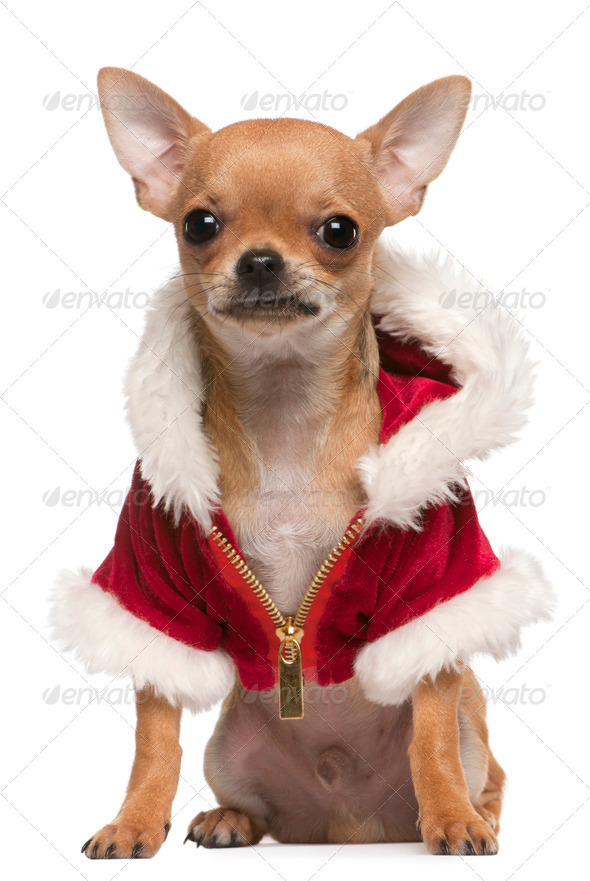 Chihuahua puppy (6 months old) - Stock Photo - Images