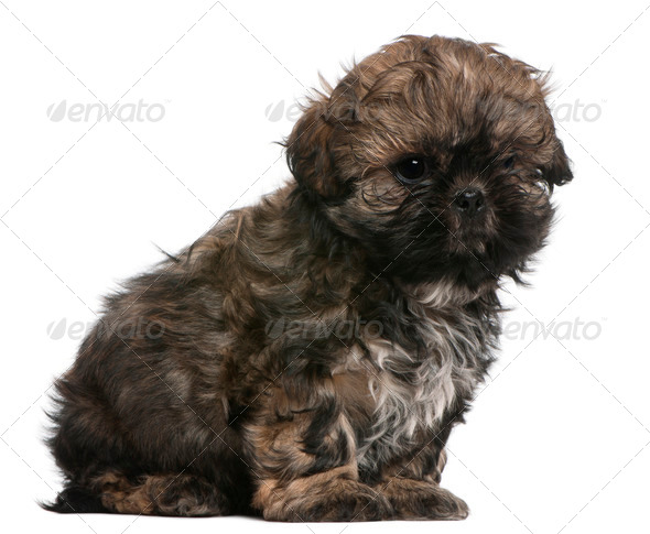 Shih Tzu puppy (8 weeks old) - Stock Photo - Images