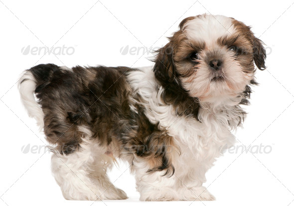 Shih Tzu puppy (9 weeks old) - Stock Photo - Images