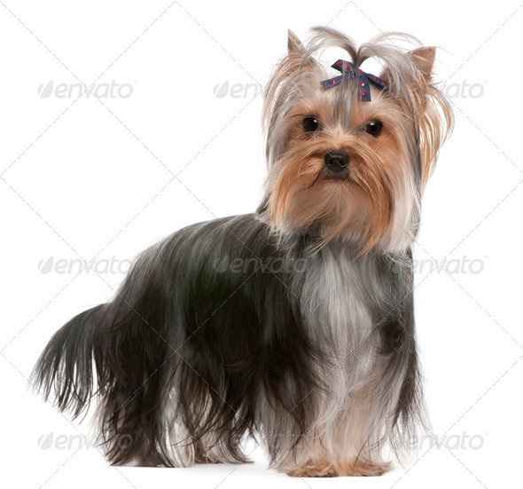 Yorkshire Terrier (13 months old) - Stock Photo - Images