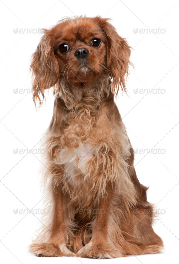 Cavalier King Charles Spaniel (18 months old) - Stock Photo - Images