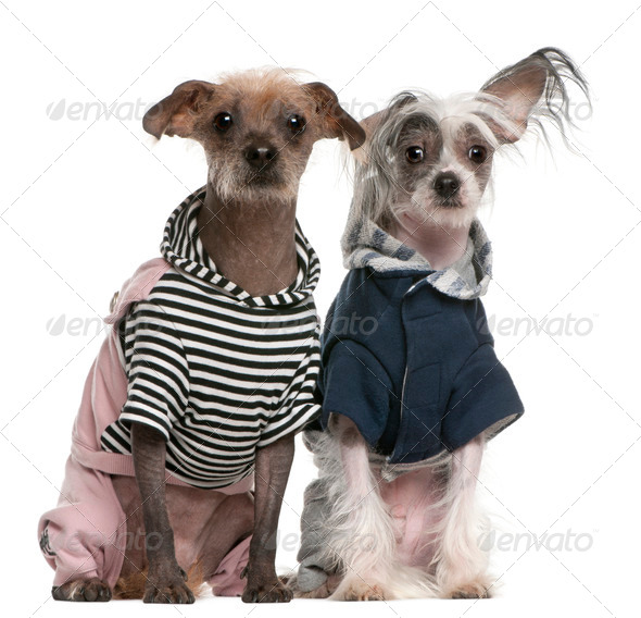 Peruvian Hairless Dog (2 years old), Peruvian Hairless Dog (1 year old) - Stock Photo - Images