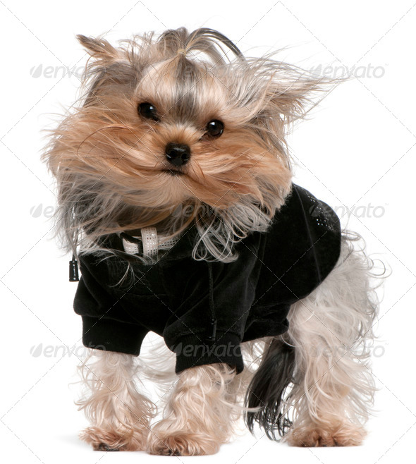 Yorkshire Terrier (14 months old) - Stock Photo - Images
