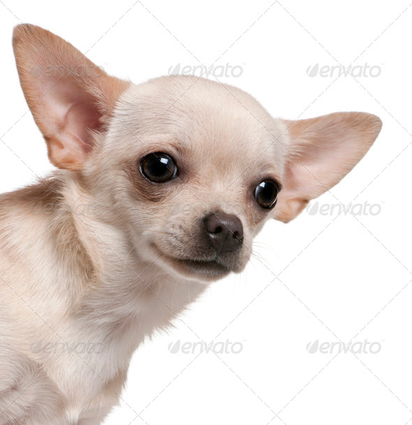 Chihuahua (8 months old) - Stock Photo - Images