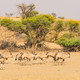 A Gemsbok Herd in the Kalahari Desert - PhotoDune Item for Sale