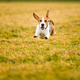 Dog Beagle running fast and jumping with tongue out through green grass field in a spring - PhotoDune Item for Sale