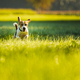 Happy dog running through a green vivid meadow towards camera. - PhotoDune Item for Sale