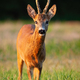 Interested roe deer buck standing on meadow during in summer at sunset - PhotoDune Item for Sale