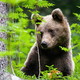 Cute brown bear looking aside in forest during the summer - PhotoDune Item for Sale