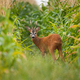 Roe deer buck looking back in corn field during the summer - PhotoDune Item for Sale