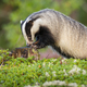 European badger sniffing on stump during the summertime - PhotoDune Item for Sale