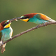 European bee-eater feeding on twig during the summer - PhotoDune Item for Sale