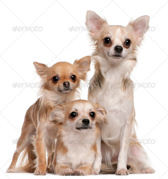 Chihuahua (9 months old), Chihuahua (2 years old), Chihuahua (10 months old) - Stock Photo - Images