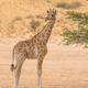 A Young Giraffe in the Kalahari Desert - PhotoDune Item for Sale