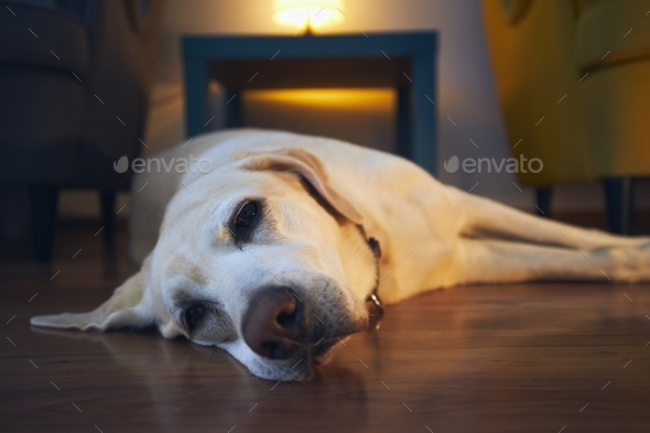 Old dog resting at cozy home - Stock Photo - Images