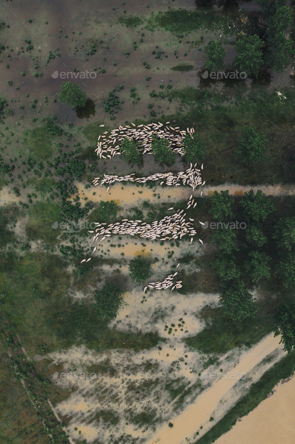 Flock of sheep on flooded pasture, aerial view - Stock Photo - Images