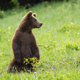Juvenile brown bear standing on rear legs on meadow in summertime - PhotoDune Item for Sale